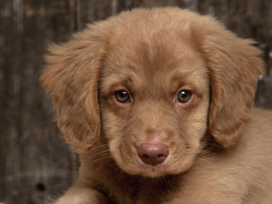 animals dogs puppies canine pets retriever wallpaper