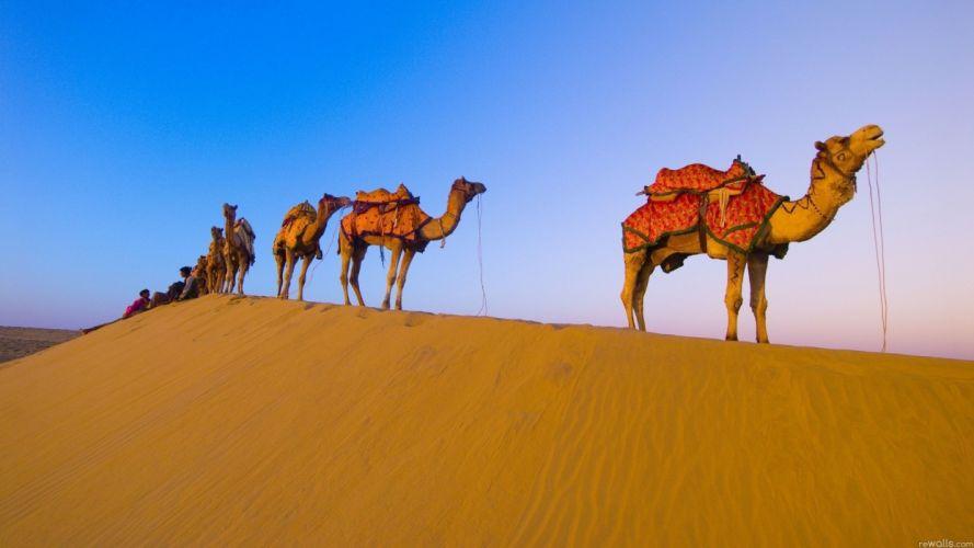 animals desert camels wallpaper