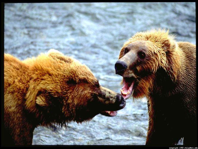 animals fight wallpaper