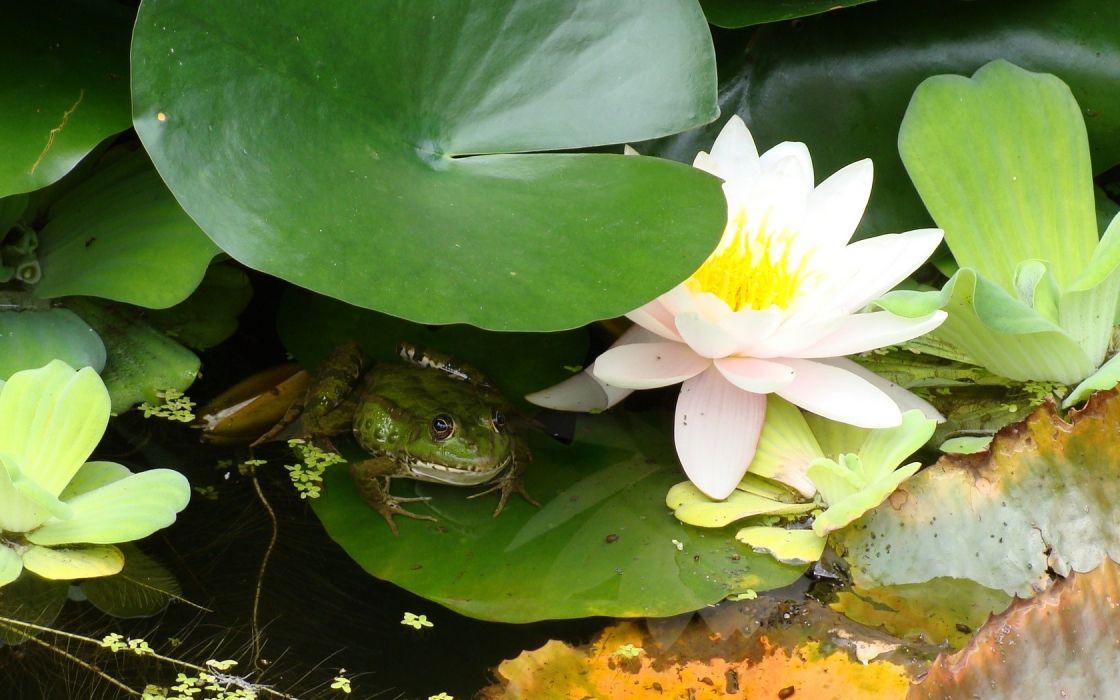 flowers frogs water lilies amphibians wallpaper