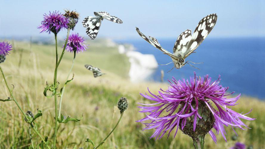England butterflies Thistles sea wallpaper