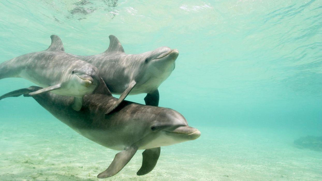dolphins caribbean Honduras sea wallpaper