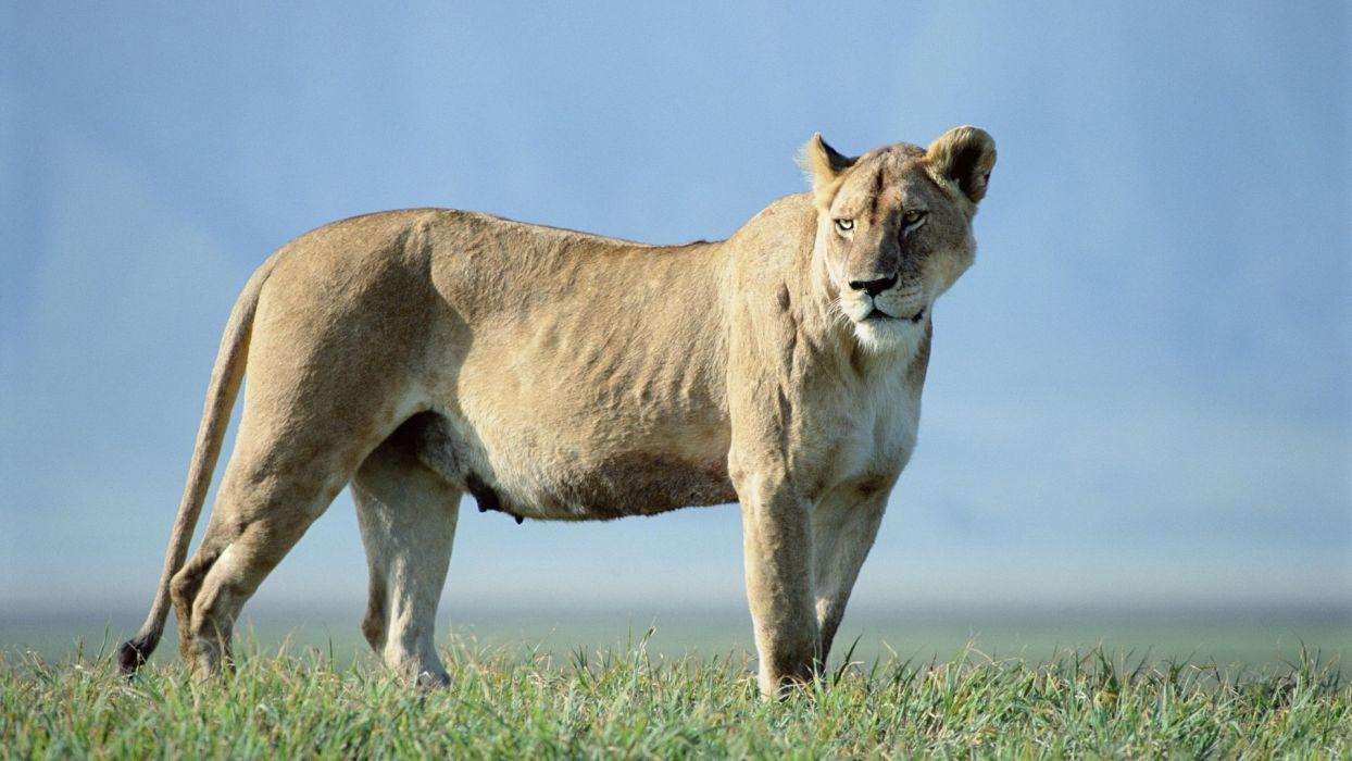 nature animals lions wallpaper