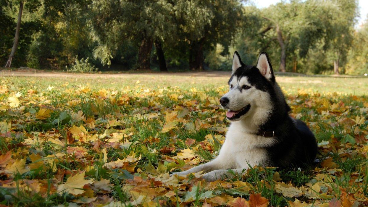 nature autumn (season) animals leaves dogs husky Siberian husky wallpaper