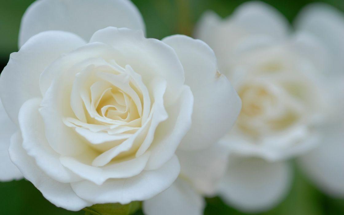 Flowers roses white flowers wallpaper 1920x1200 66715 wallpaperup flowers roses white flowers wallpaper mightylinksfo