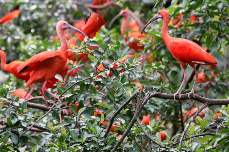leaves branches Ibis birds wallpaper