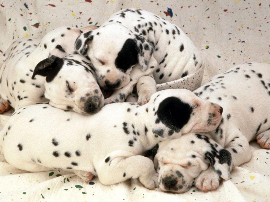 puppies dreams dalmatians wallpaper