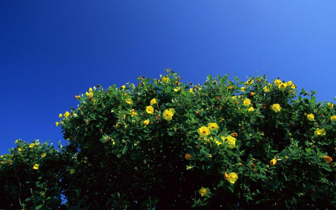 Japan flowers yellow flowers blue skies wallpaper