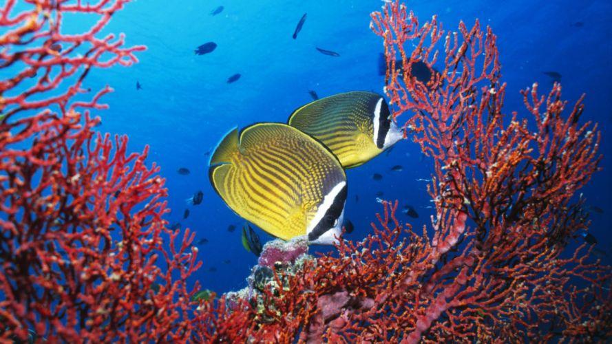 fish coral tropical fish natural wallpaper