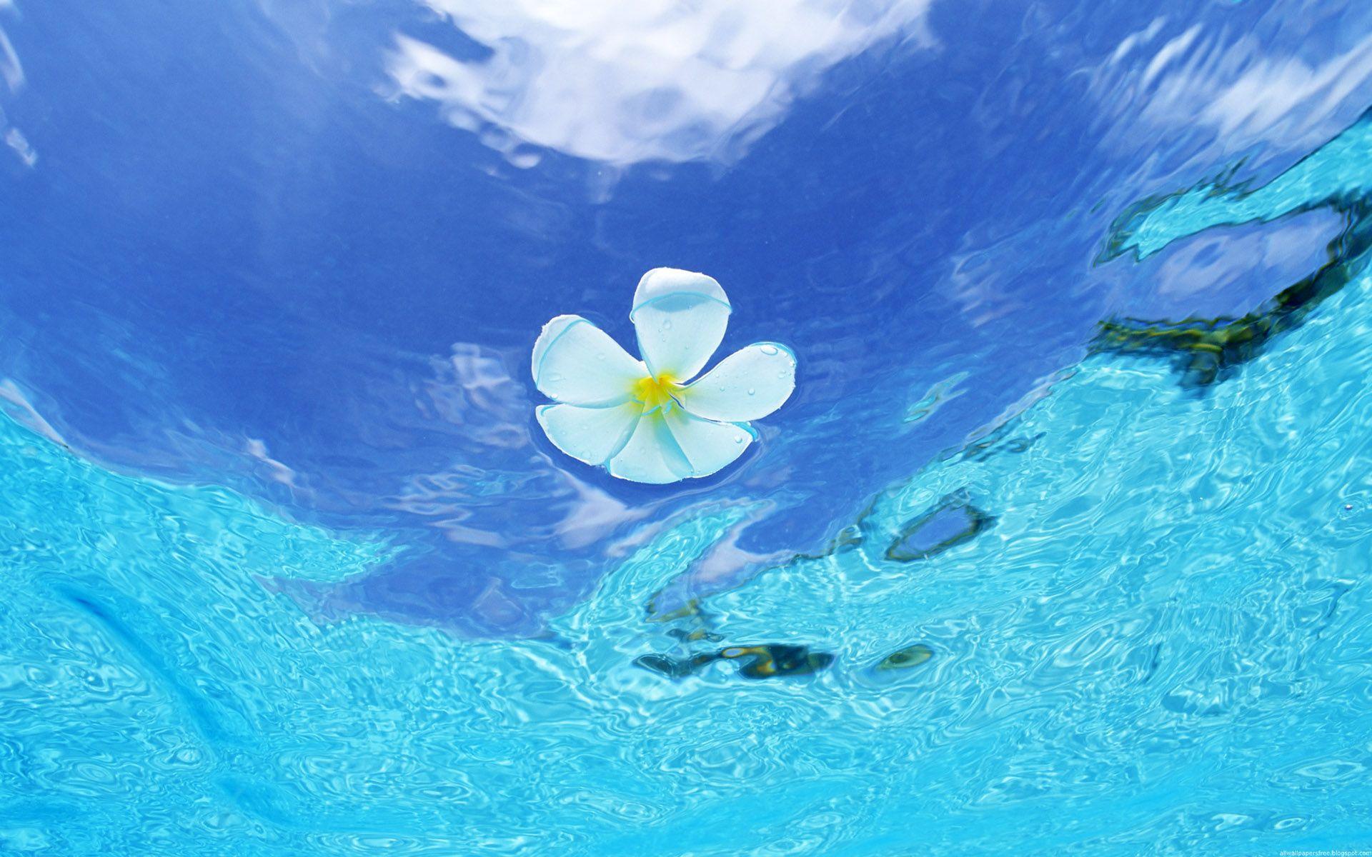 water flowers white flowers plumeria wallpaper 1920x1200