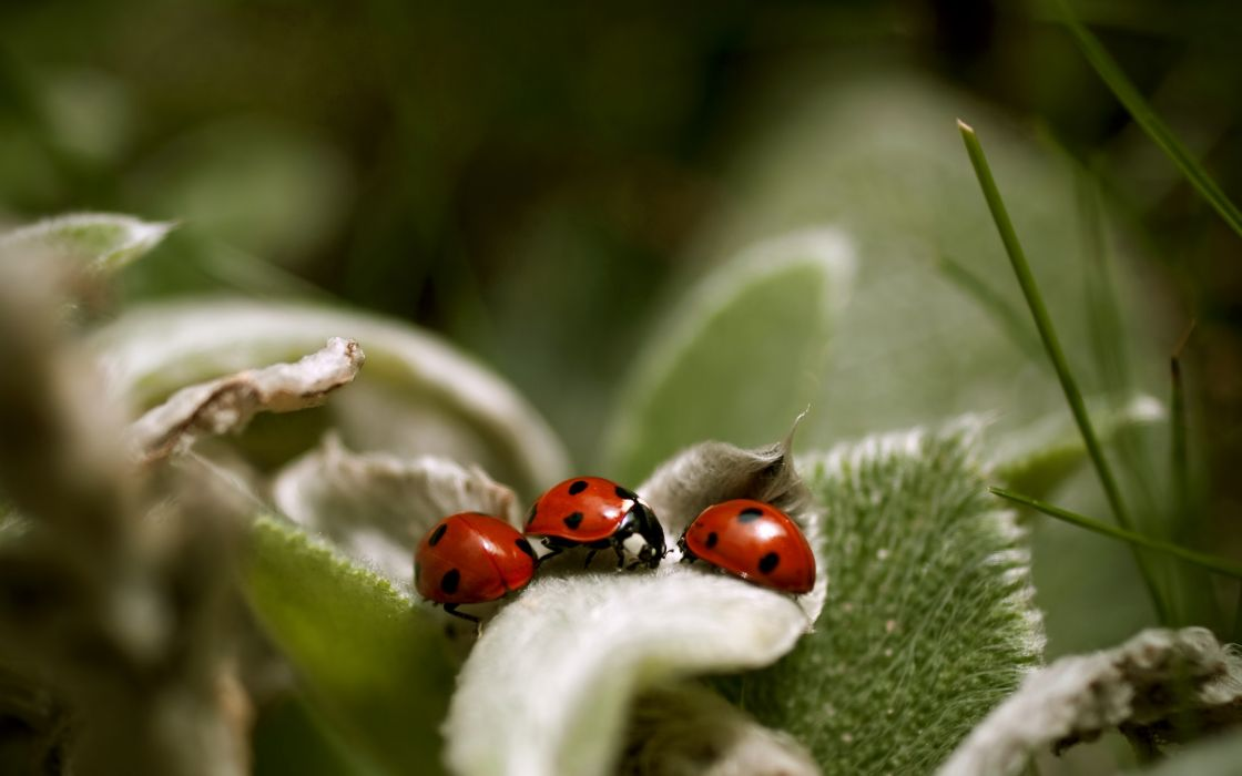 insects macro ladybirds wallpaper