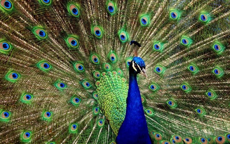 birds peacocks iridescence wallpaper