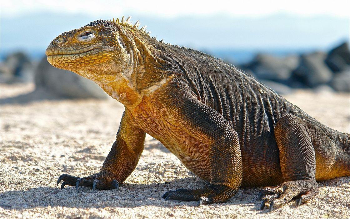beach animals lizards Komodo dragons wallpaper