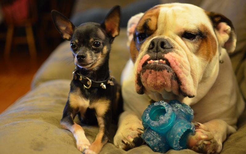 dog Chihuahua Bulldog wallpaper