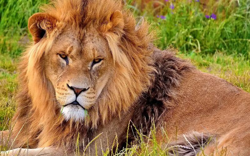 face lion mane wallpaper