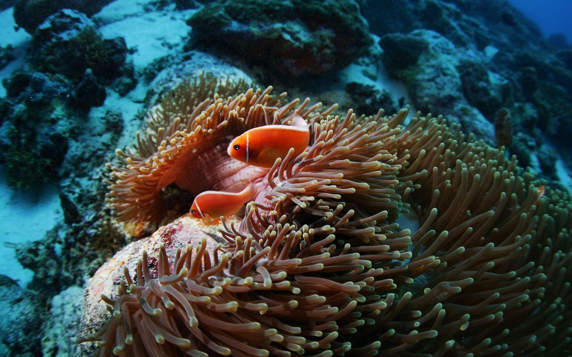 Fish Sea Anemones Underwater Coral Reef Wallpaper