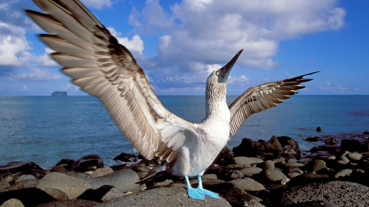birds islands blue-footed boobies Ecuador wallpaper