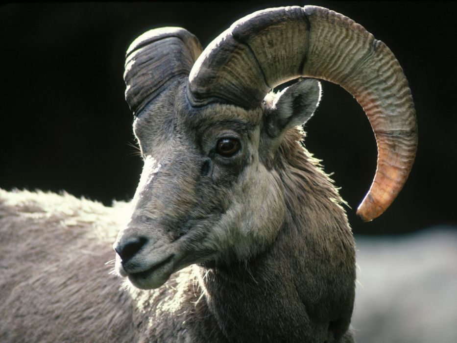 sheep Colorado rocky wallpaper