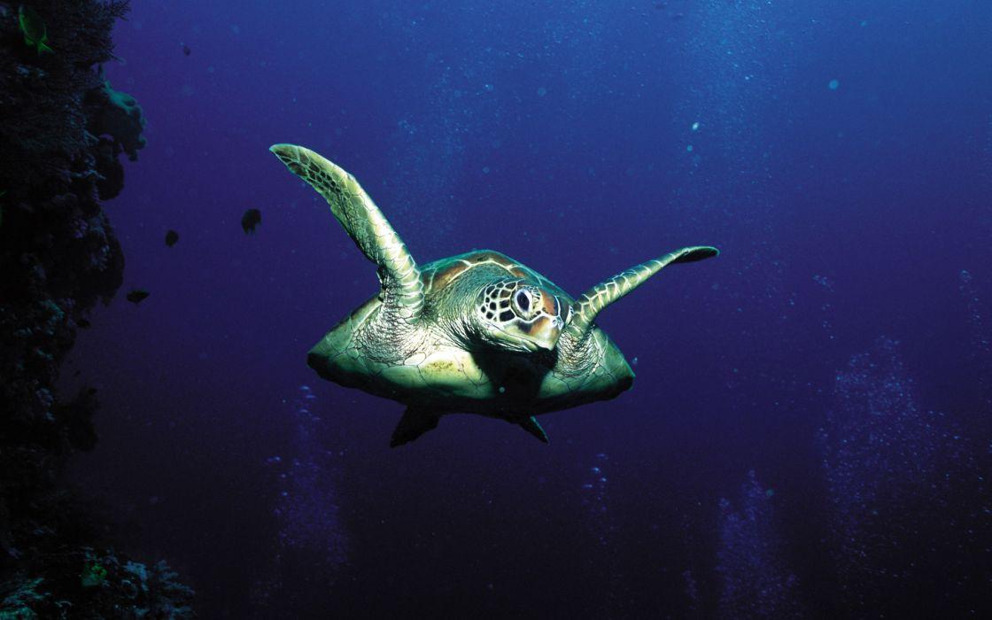 animals turtles underwater wallpaper
