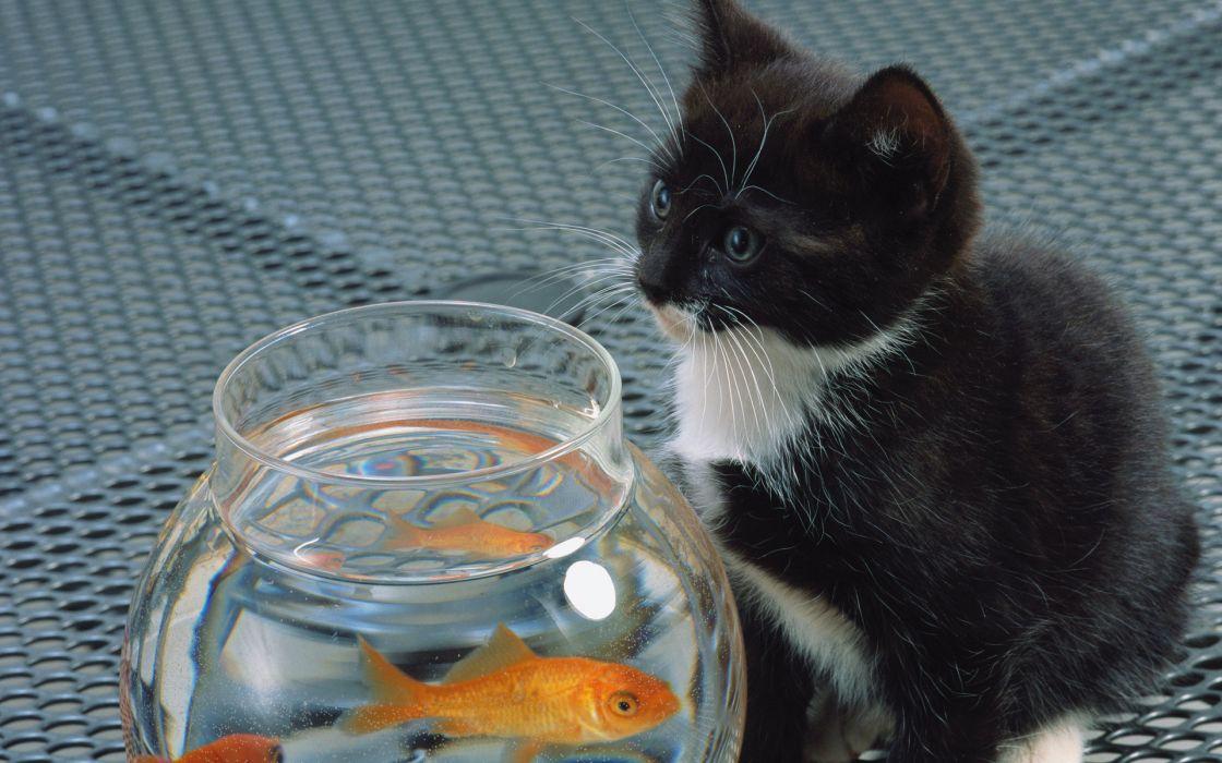 fish cat aquarium kittens wallpaper