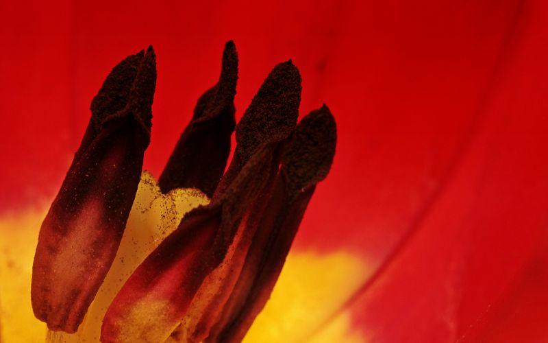 Flower Macro Red wallpaper