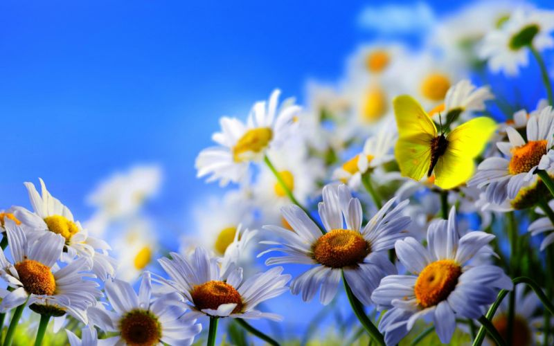 flowers daisies butterfly wallpaper