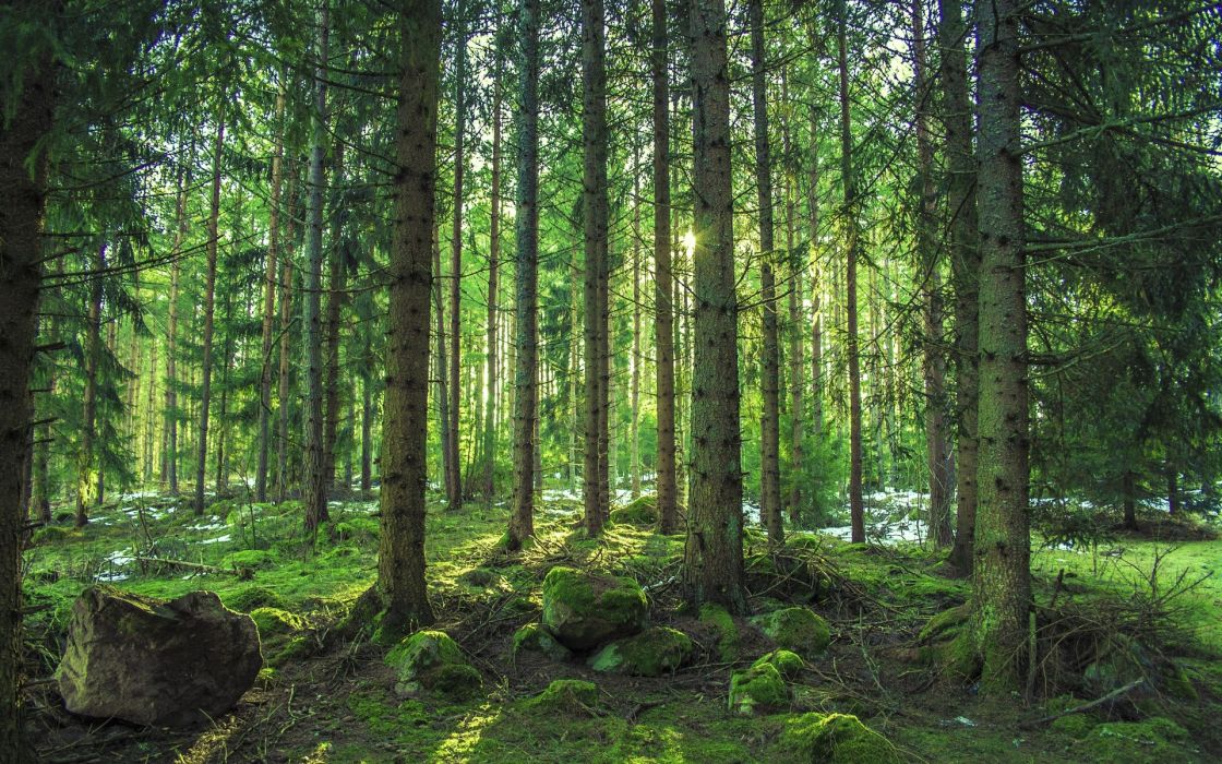forest trees stones moss nature wallpaper