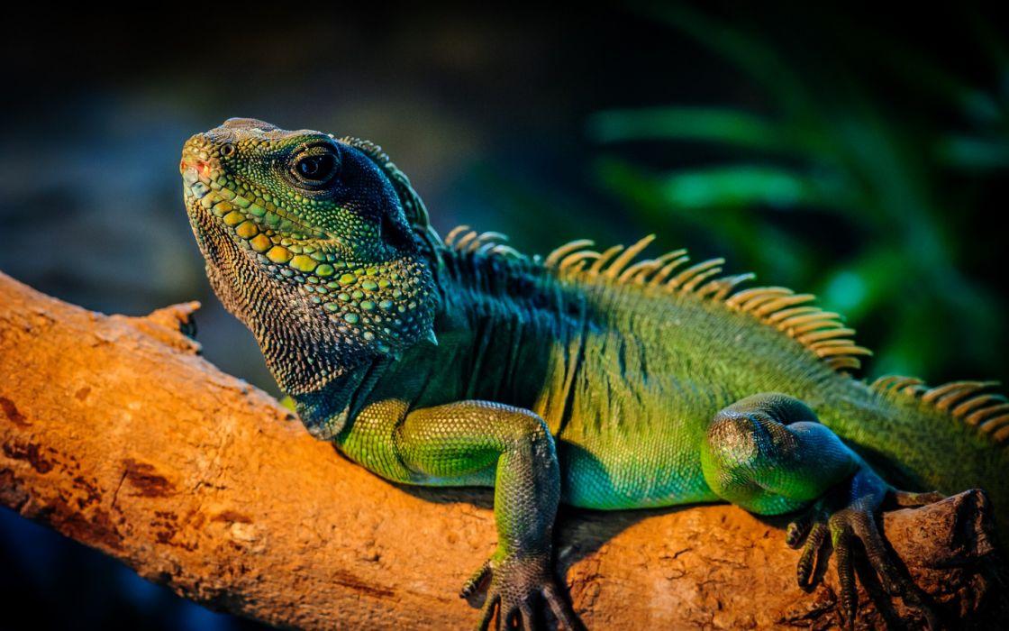 iguana green tree wallpaper