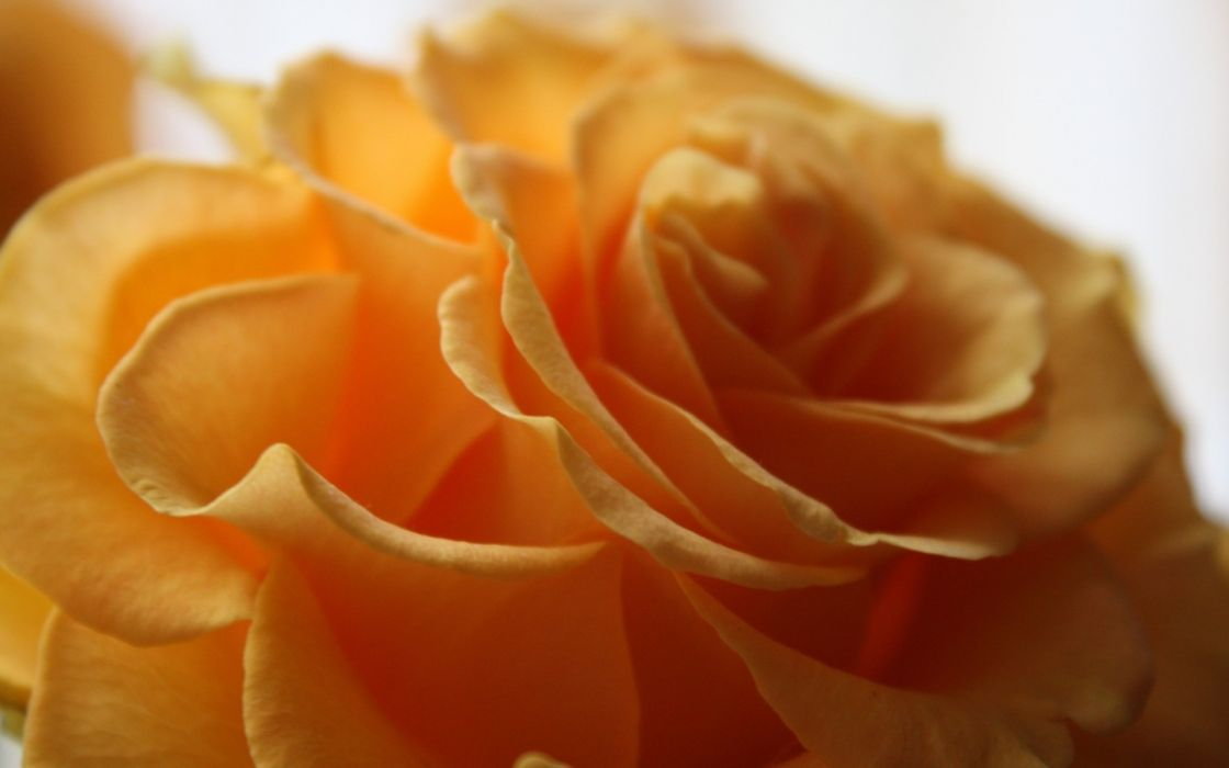 petals macro flower rose yellow wallpaper
