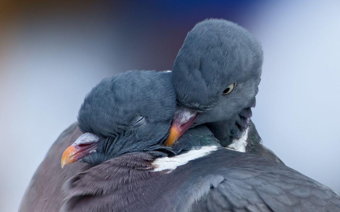 pigeons birds love mood wallpaper