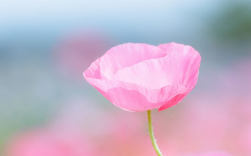 Poppy pink flower field close-up blurred wallpaper
