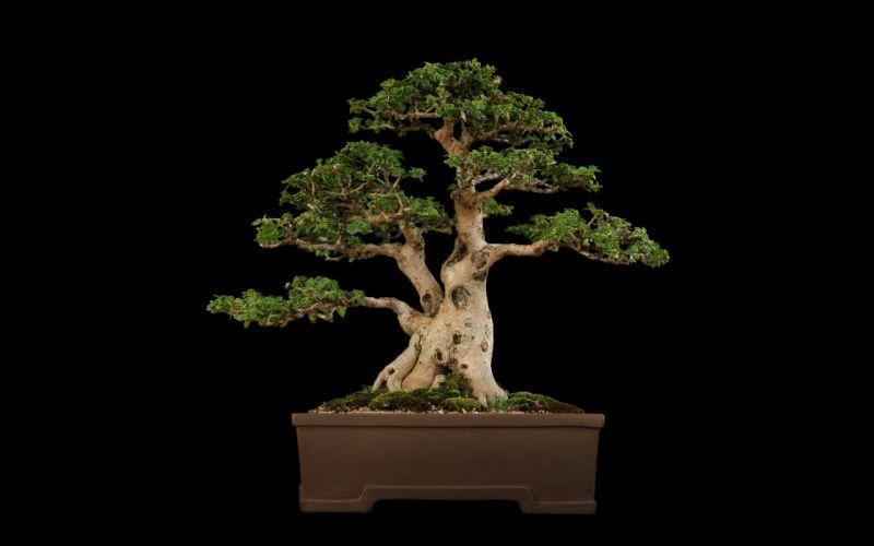 Tree Bonsai Tree Black f wallpaper