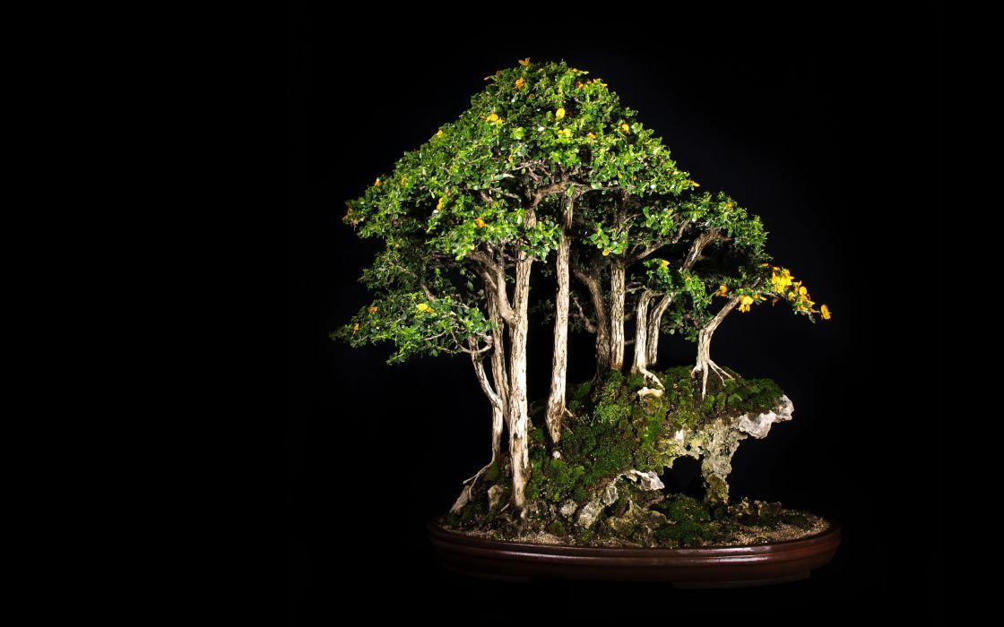 Tree Bonsai Tree Black leaves       d wallpaper