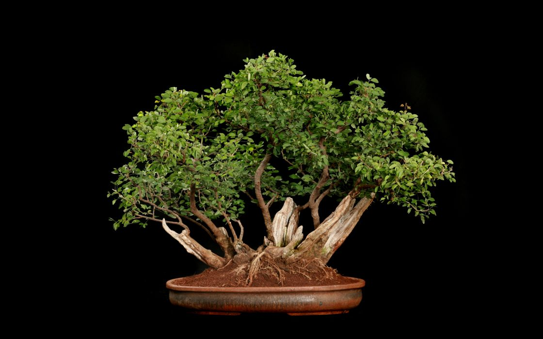Tree Bonsai Tree Black leaves    f wallpaper