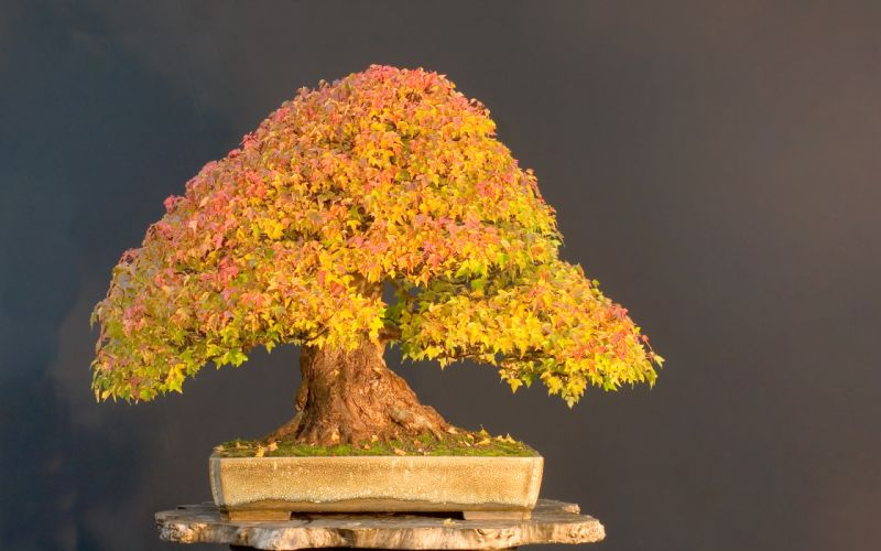 Tree Bonsai Tree leaves f wallpaper