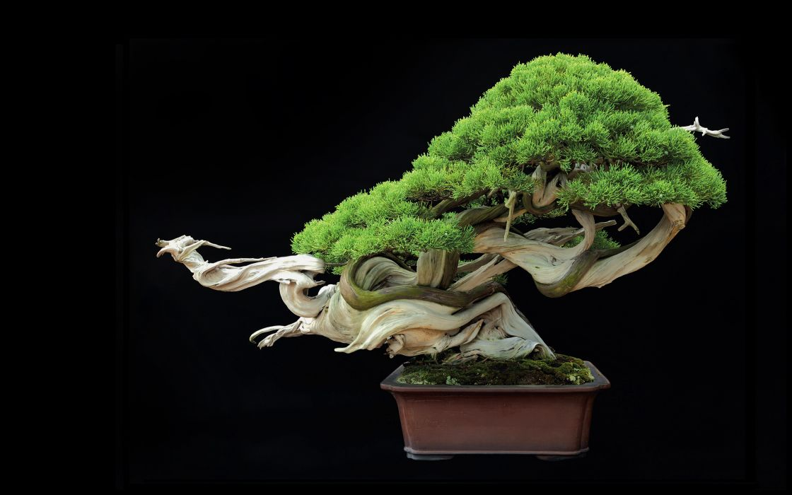 Tree Bonsai Tree leaves    g wallpaper