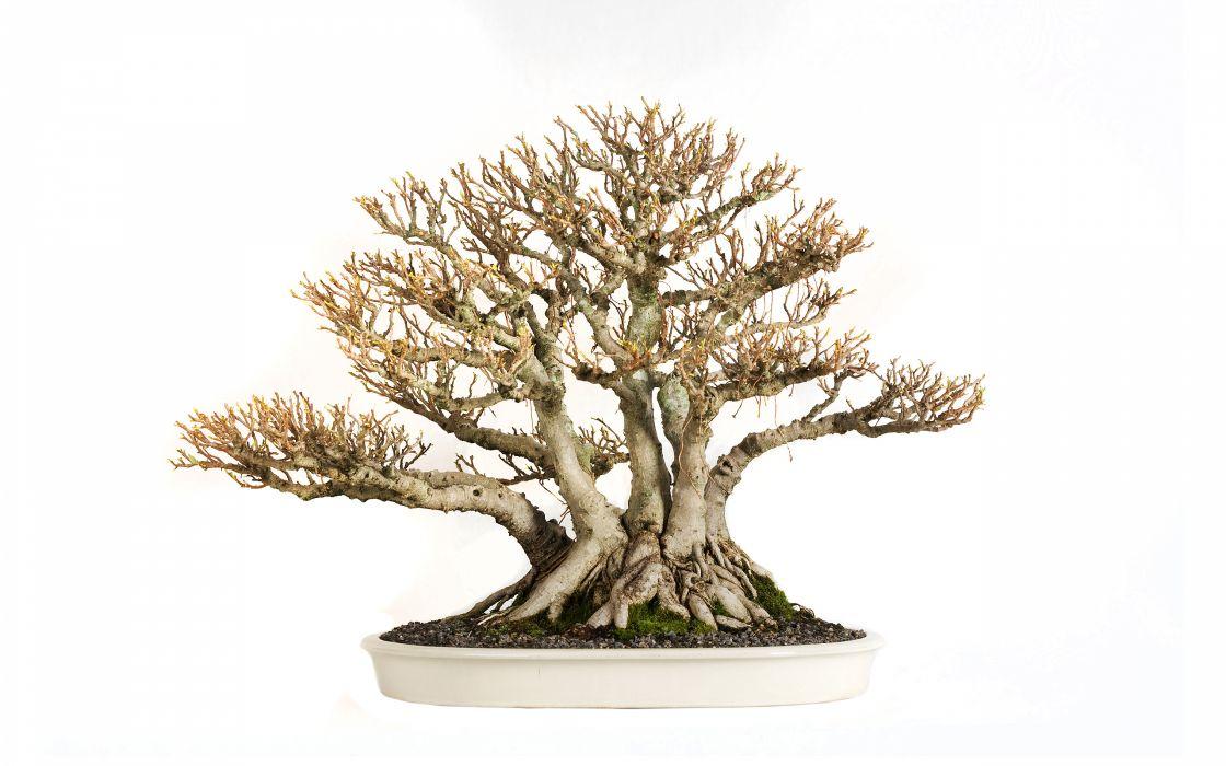 Tree Bonsai Tree leaves wallpaper