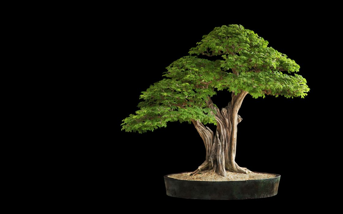 Tree Bonsai Tree leaves     h wallpaper