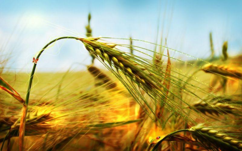 ear grass bend wind wallpaper