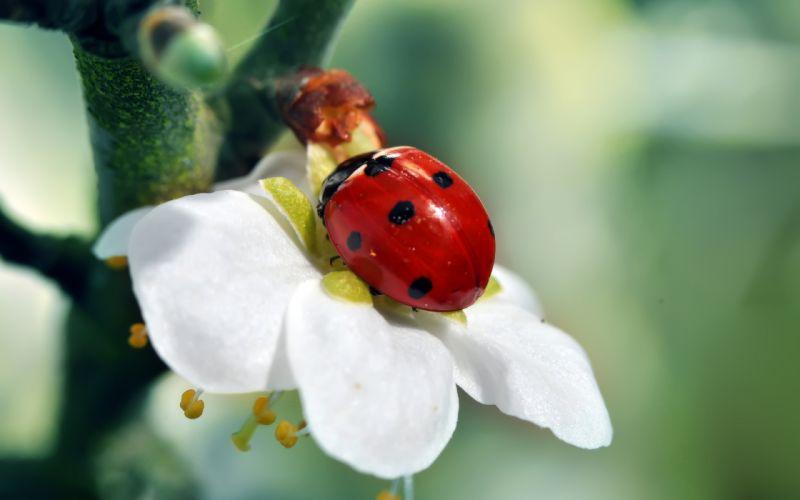 branch ladybug tree flower wallpaper