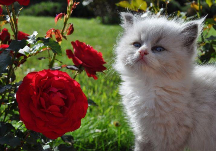 Cats Roses Fluffy Kittens Animals Flowers wallpaper