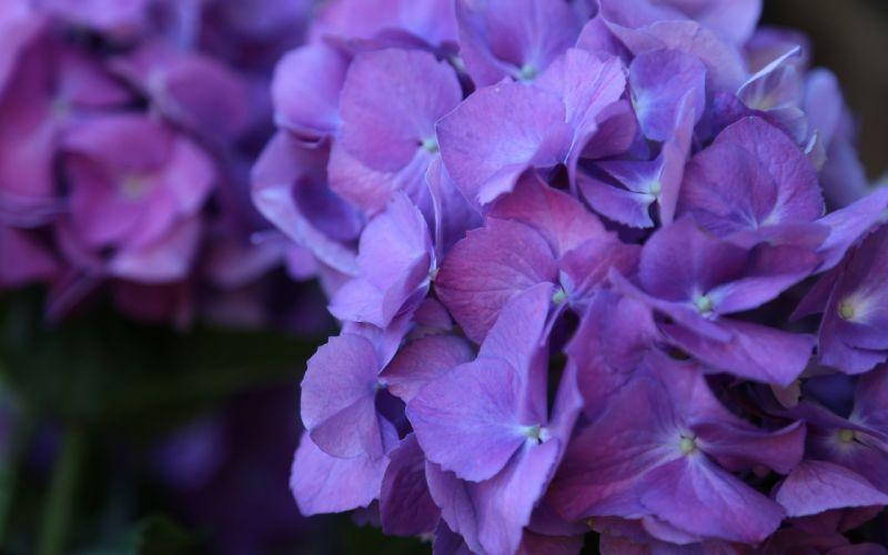 Flowers Macro Purple wallpaper