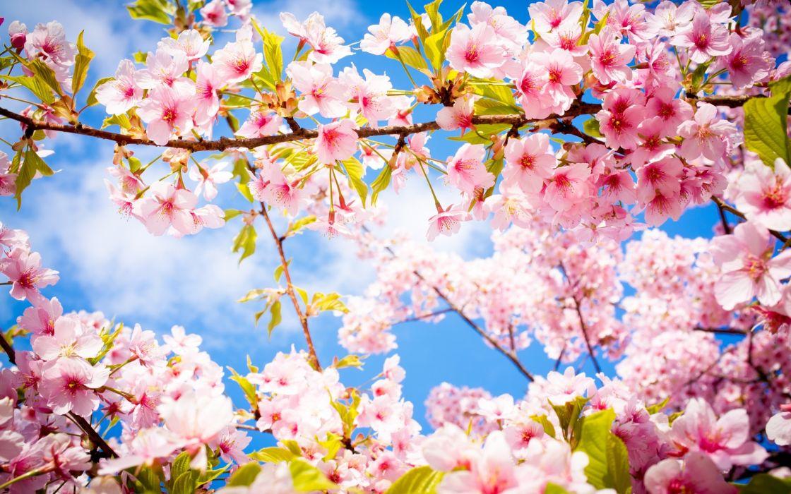 sakura blossom branch spring wallpaper