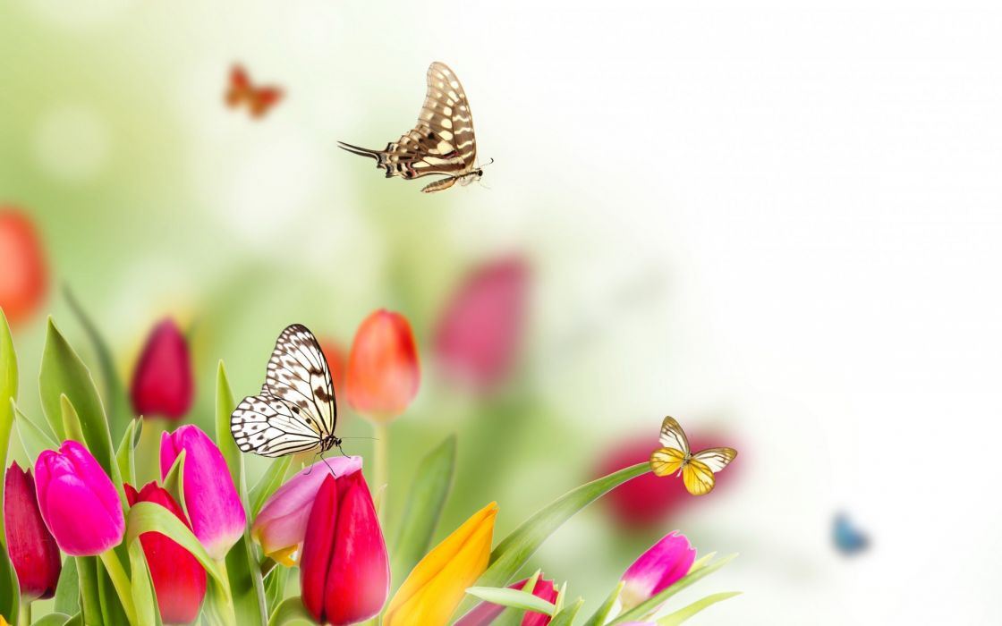spring flowers tulips butterflies wallpaper