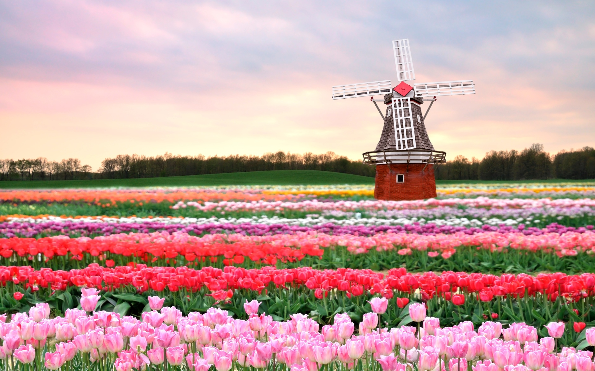 Flowers Mill Field Tulips Pink Spring Flowers Architecture Wallpaper