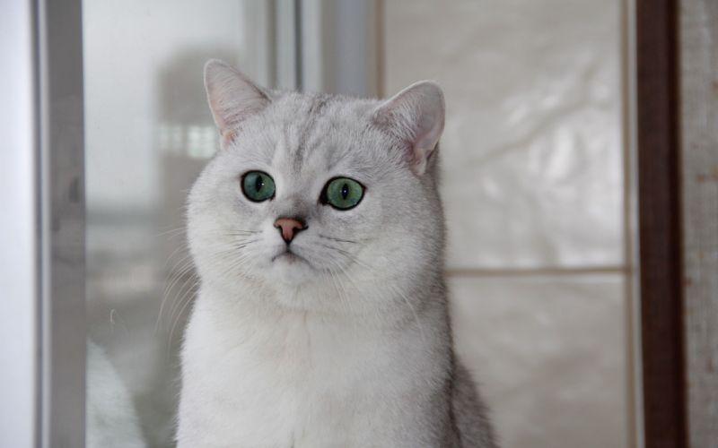 British shorthair cat green eyes the window wallpaper