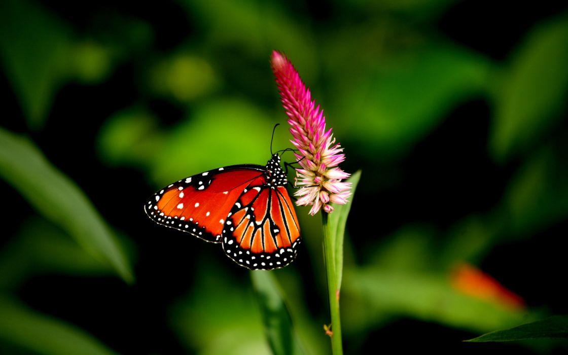 butterfly flower close-up wallpaper
