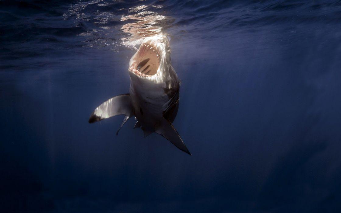 OCEAN  WHITE  SHARK  JAWS  FANGS  TEETH wallpaper