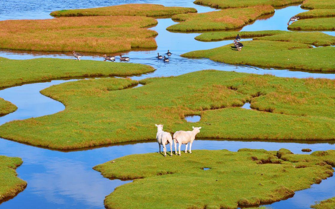 sheep  geese  island  grass  foliage  water birds wallpaper