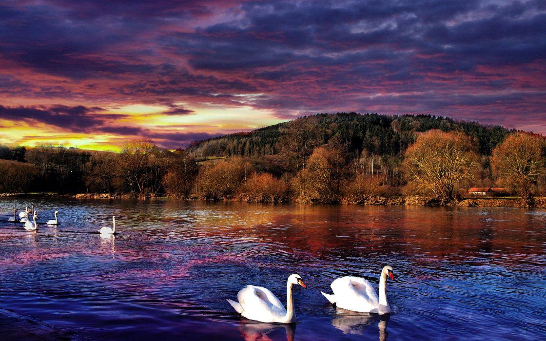 sunset river swans landscape wallpaper